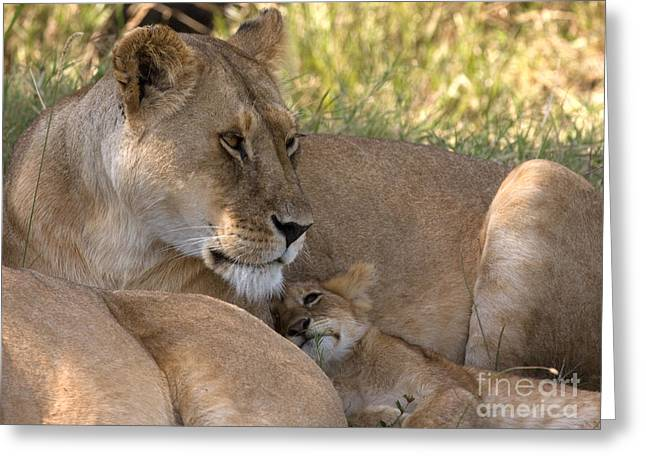 Greeting Card featuring the photograph Lion And Cub by Chris Scroggins