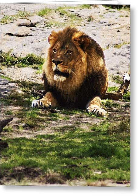 Greeting Card featuring the photograph Lion At Rest by B Wayne Mullins