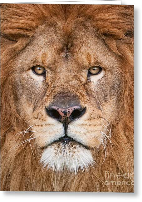 Lion Close Up Greeting Card by Jerry Fornarotto