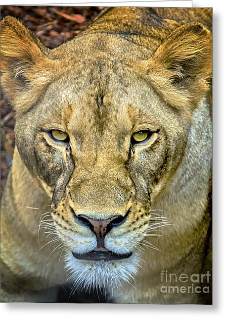Lion Closeup Greeting Card by David Millenheft
