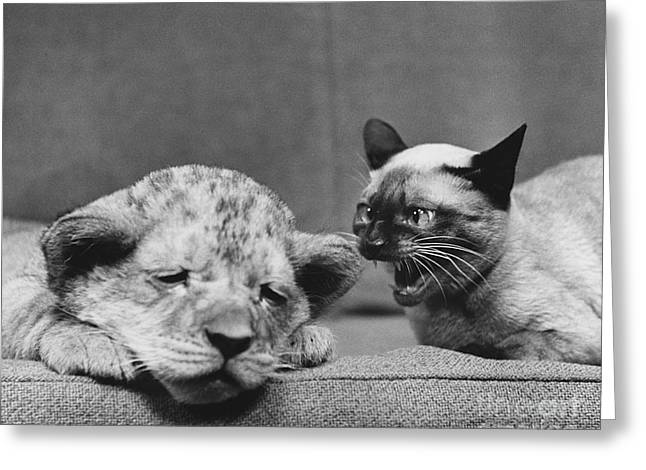 Lion Cub And Siamese Cat Greeting Card