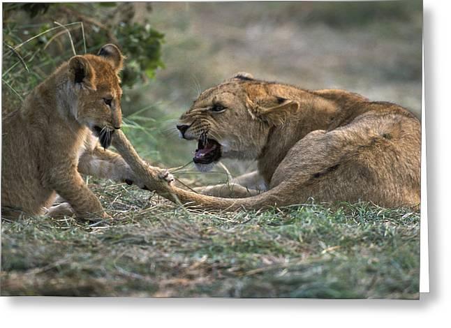Lion Cub Biting Mother Greeting Card by Jean-Michel Labat