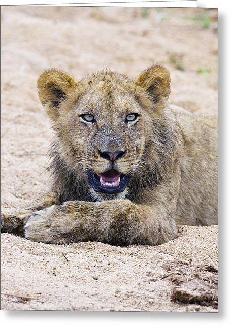 Lion Cub In Dry River Bed Greeting Card by Sean McSweeney