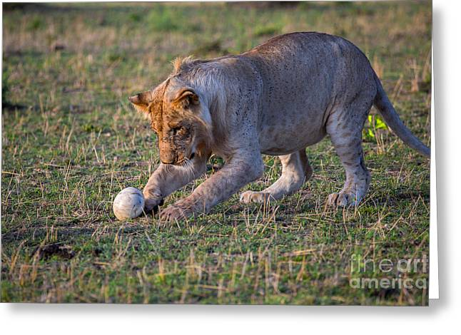 Lion Cub Playing With Ostrich Egg Greeting Card by Greg Dimijian