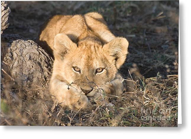 Greeting Card featuring the photograph Lion Cub Waiting For Mother by Chris Scroggins