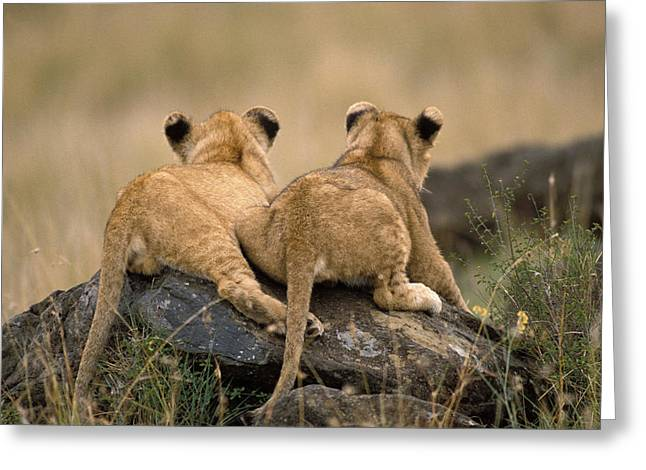 Lion Cubs Greeting Card by Jean-Michel Labat