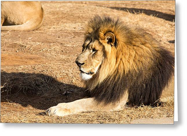 Lion Gaze Greeting Card