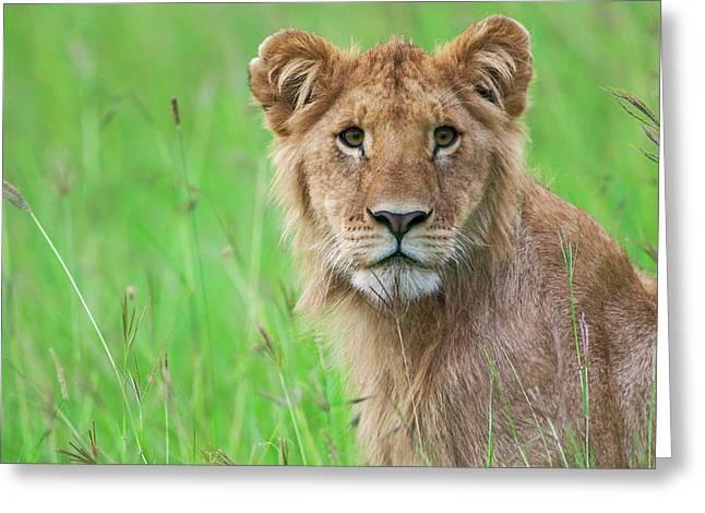 Lion In The Grass, Maasai Mara National Greeting Card by Keren Su