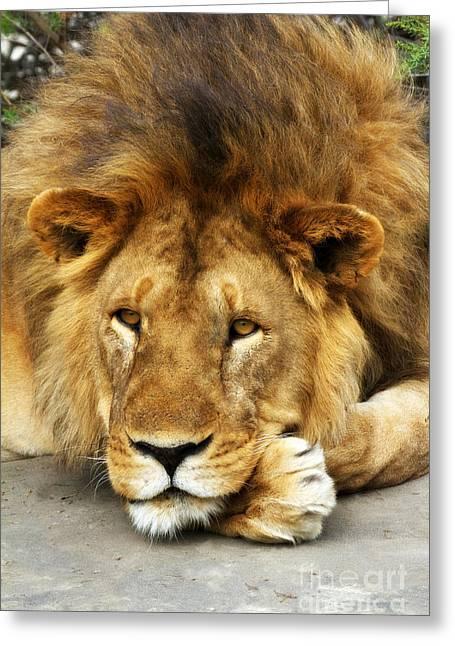 Lion King Emeritus Greeting Card