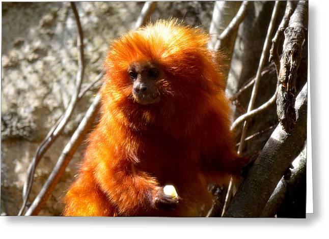 Greeting Card featuring the photograph Lion Monkey 1 by Amanda Vouglas