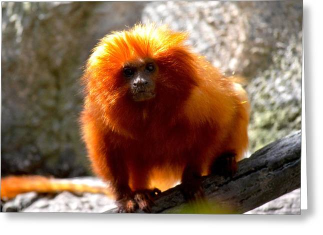 Greeting Card featuring the photograph Lion Monkey 2 by Amanda Vouglas