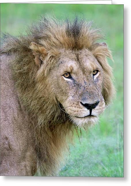 Lion On The Savannah, Maasai Mara Greeting Card