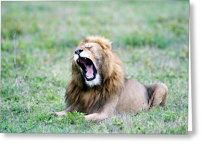 Lion Panthera Leo Yawning In A Field Greeting Card by Panoramic Images