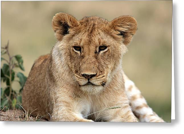 Lion Portrait  Greeting Card by Aidan Moran