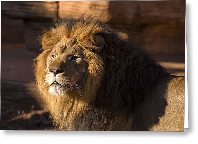 Lion Resting In The Sun Greeting Card