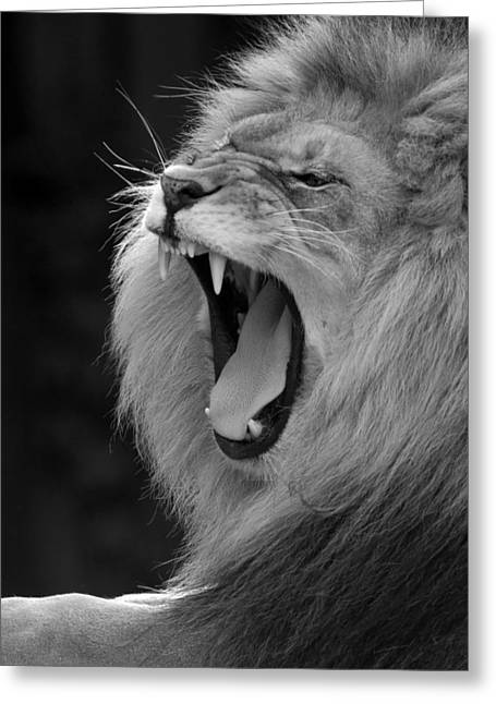Lion Roar Black And White  Greeting Card