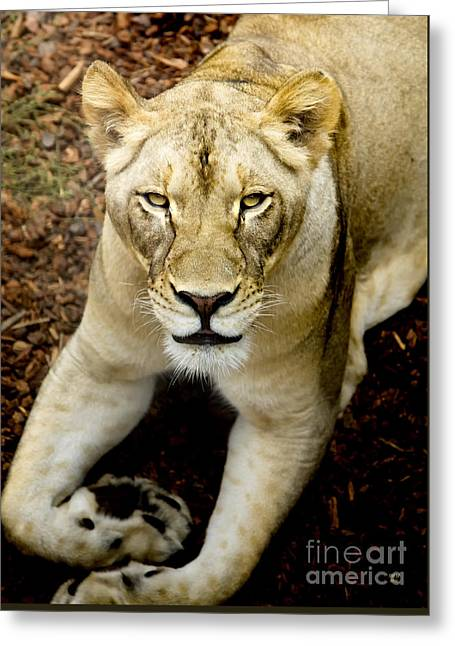 Greeting Card featuring the photograph Lion-wildlife by David Millenheft