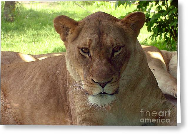 Lioness-00098 Greeting Card by Gary Gingrich Galleries