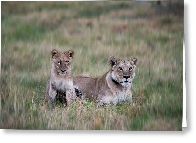 Lioness And Cub Interacting In Grass Greeting Card by Sheila Haddad