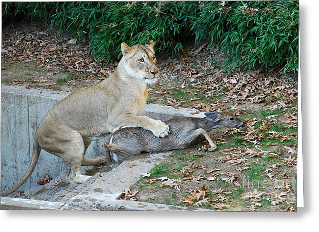 Greeting Card featuring the photograph Lioness And Deer by Eva Kaufman