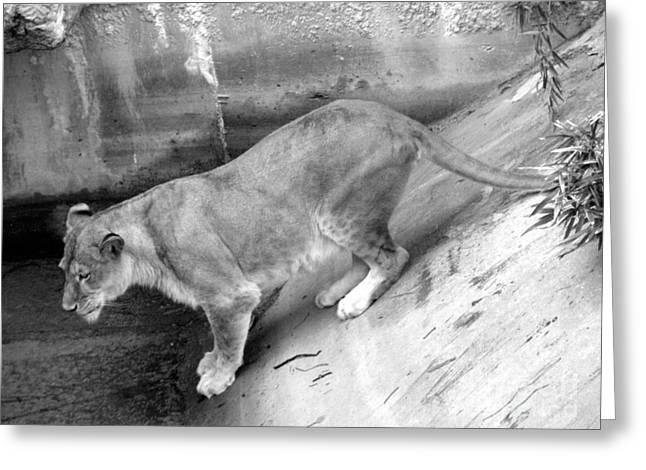 Greeting Card featuring the photograph Lioness Black And White by Joseph Baril