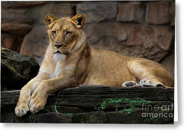 Lioness Greeting Card by D Wallace