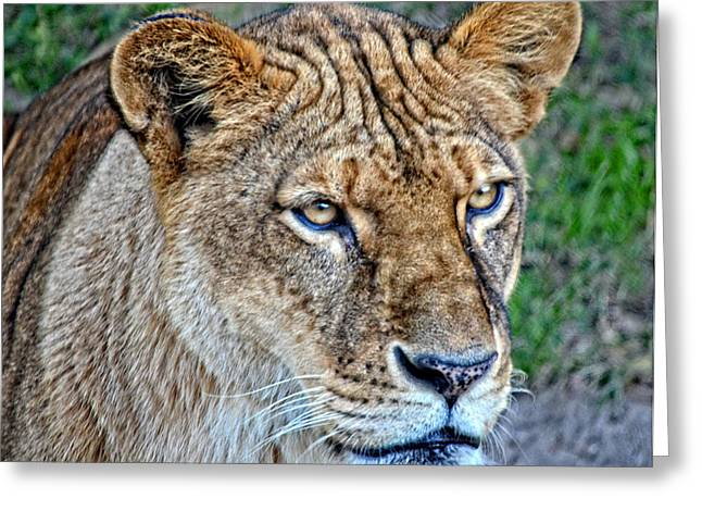 Lioness Deep In Thought Hdr Greeting Card