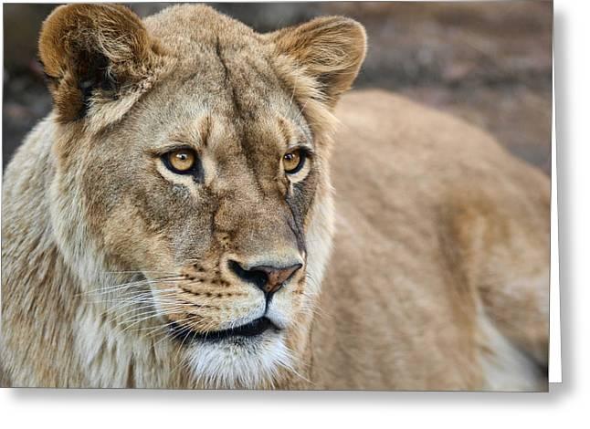 Lioness Greeting Card by Nikolyn McDonald
