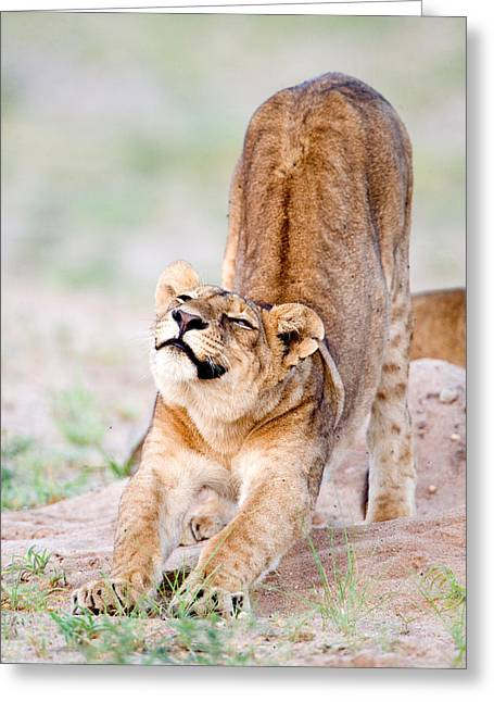 Lioness Panthera Leo Stretching Greeting Card by Panoramic Images