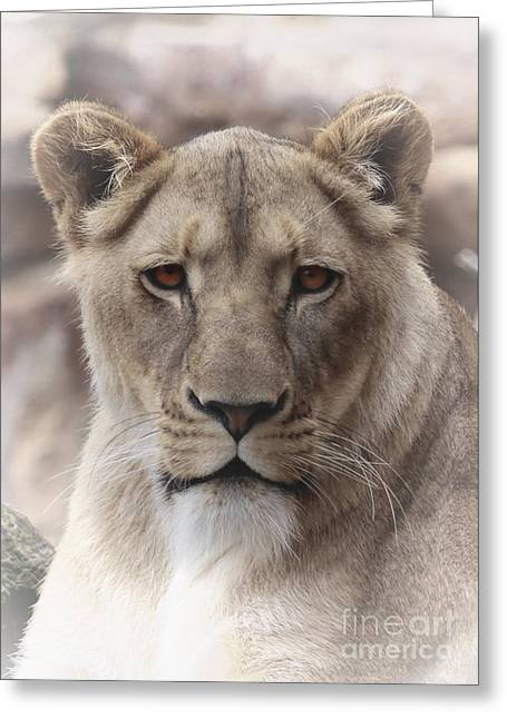 Lioness Portrait Greeting Card by D Wallace