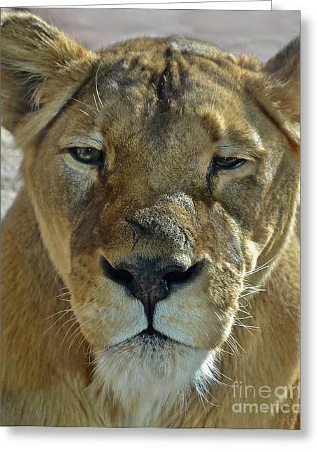 Lioness Portrait Greeting Card
