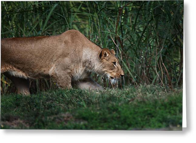 Greeting Card featuring the photograph Lioness Stalking by Joseph G Holland