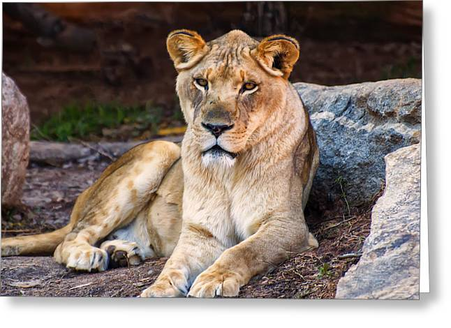Lioness Stare Greeting Card