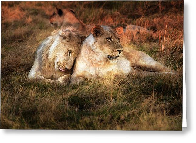 Lioness With Juvenile Male Nuzzling Greeting Card by Sheila Haddad