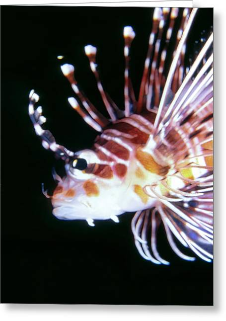 Lionfish 3 Greeting Card by Dawn Eshelman