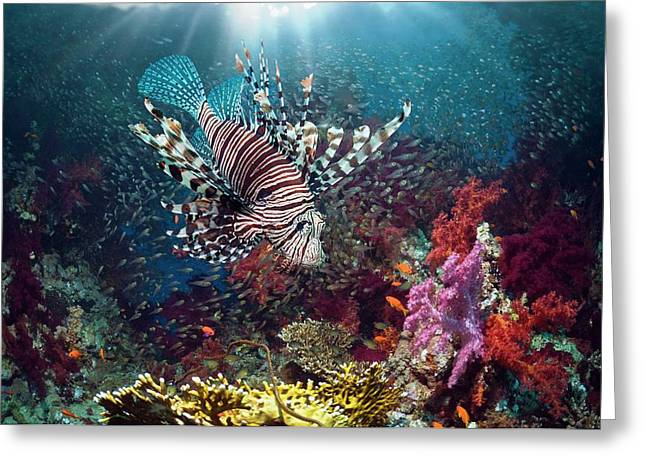 Lionfish And Sweepers With Soft Coral Greeting Card by Georgette Douwma