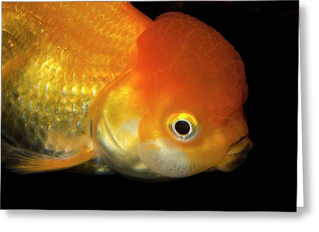 Lionhead Goldfish Greeting Card by Nigel Downer
