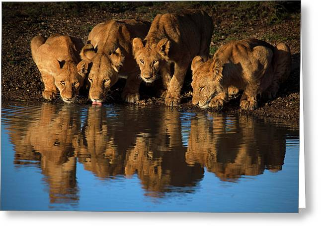 Lions Of Mara Greeting Card