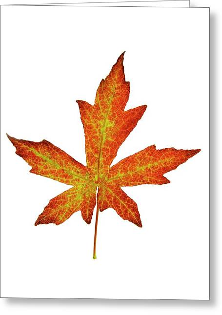 Liquidambar Styraciflua Leaf Greeting Card by Cordelia Molloy
