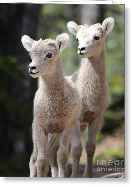 Little Bighorns Greeting Card by Marty Fancy