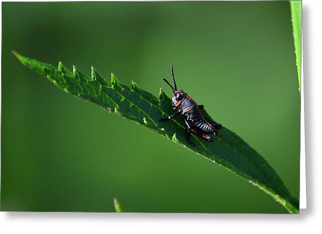 Little Black And Red Bug Greeting Card by Kathy Gibbons