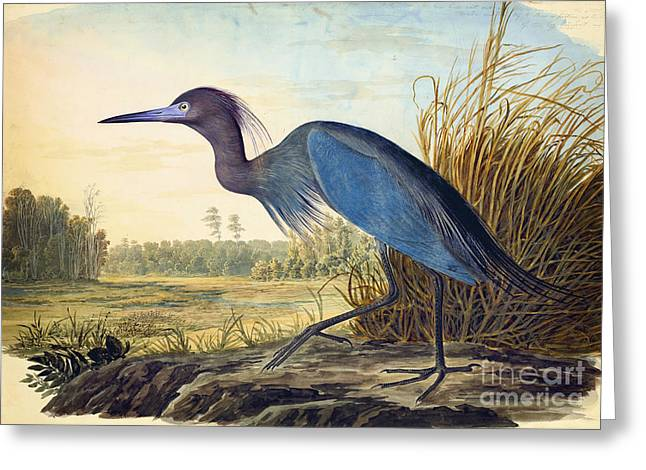 Little Blue Heron Greeting Card by Celestial Images