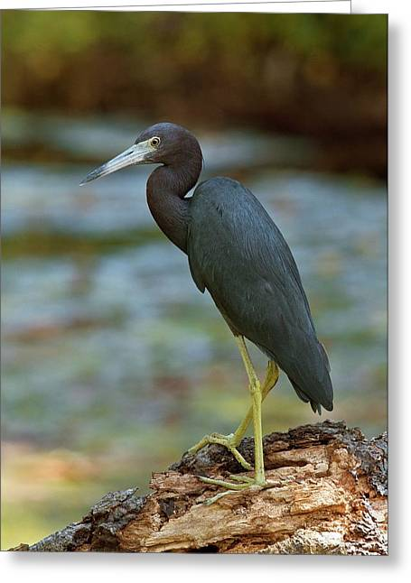Little Blue Heron By A River Greeting Card by Bob Gibbons