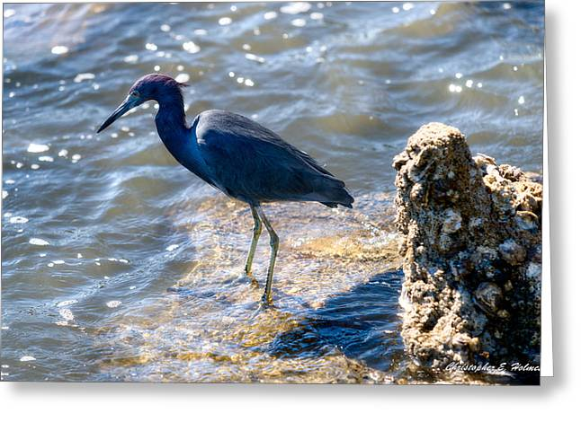 Little Blue Heron Greeting Card by Christopher Holmes