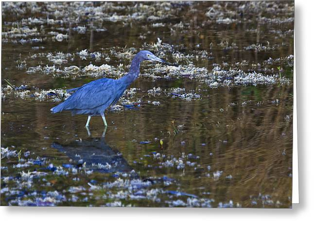 Greeting Card featuring the photograph Little Blue Heron by Gary Hall