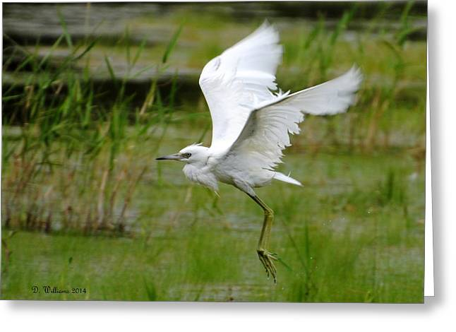 Little Blue Heron In Flight Greeting Card