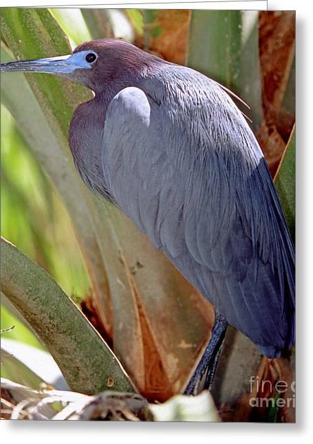 Little Blue Heron Male In Breeding Greeting Card by Millard H. Sharp