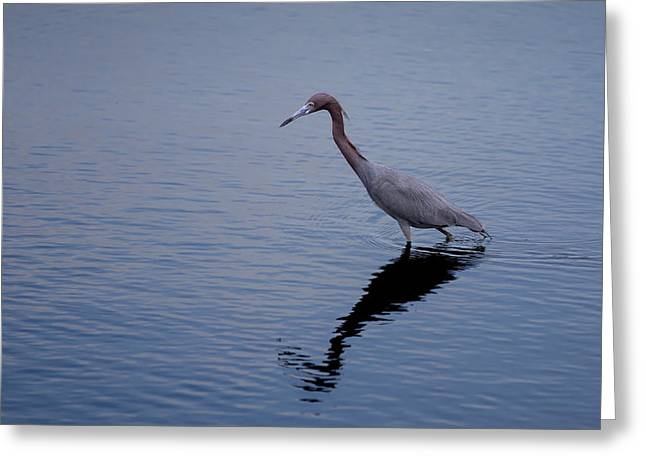Greeting Card featuring the photograph Little Blue Heron On The Hunt by John M Bailey