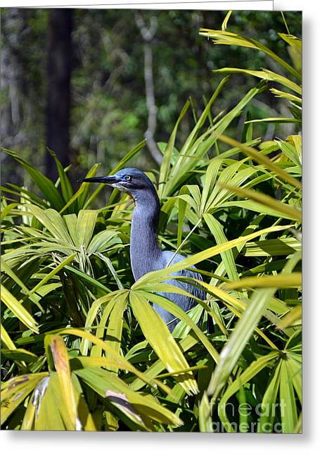 Greeting Card featuring the photograph Little Blue Heron by Robert Meanor