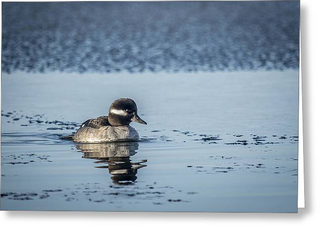 Little Bufflehead Greeting Card by Andy Smetzer